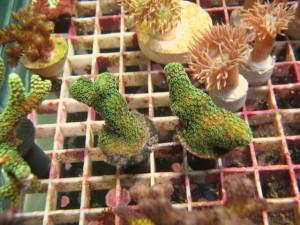 Boutures de coraux durs et moux sur différents supports (Photo par Mapotterncsu, sur Photobucket)