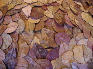 feuilles Terminalia catappa