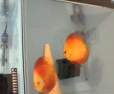 fishroom-discus