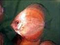 Quand des alevins de Pigeon Blood sont exposés à l'éclairage artificiel prolongé, la pigmentation noire est considérablement réduite.