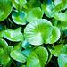 Centella asiatica (photo : Zairi)