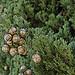 Cupressus officinalis