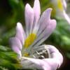 Fleur d'euphraise