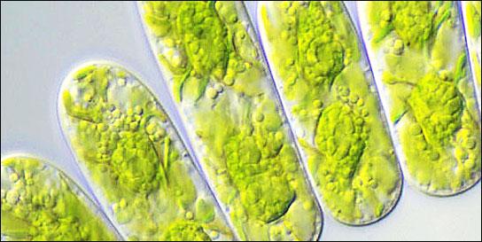 Des microalgues pour nos discus