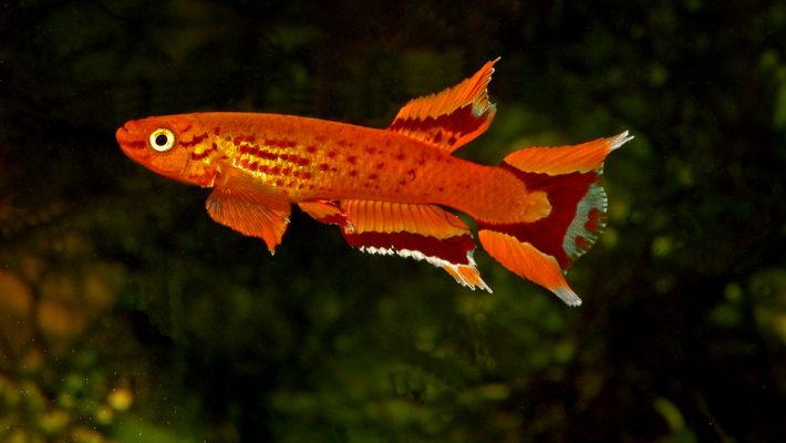 aquarium-killy-Aphyosemion-australe-orange-cap-lopez