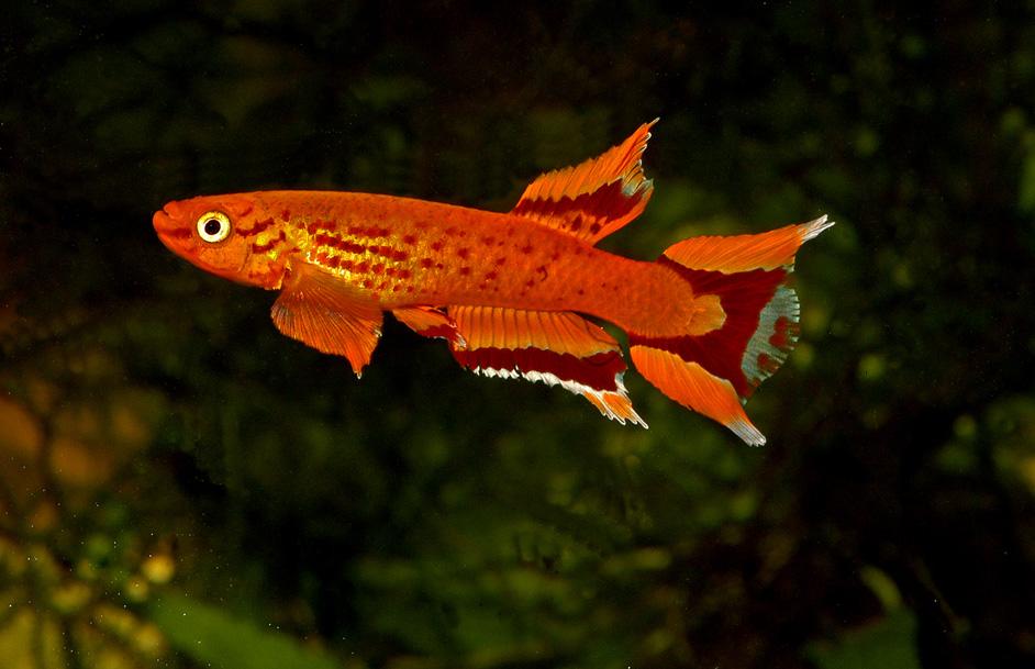 New Projet 20L Aquarium-killy-Aphyosemion-australe-orange-cap-lopez