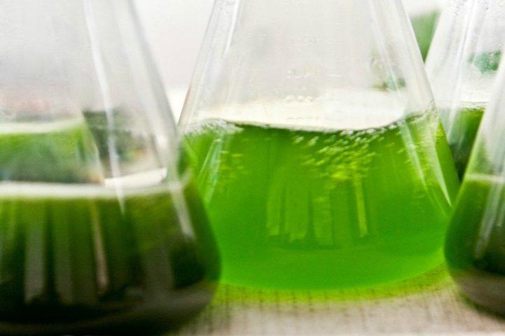 algues pour nos poissons d'aquarium