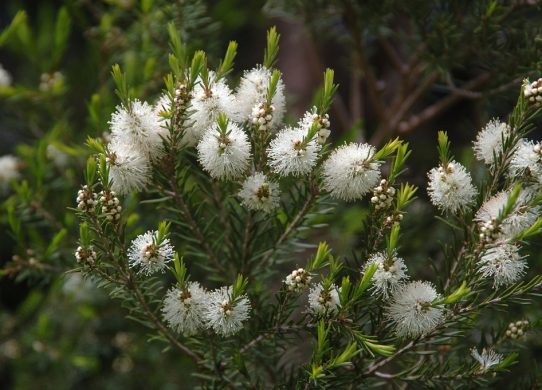 La mélaleuca alternifolia ( arbre à thé ) – Discus