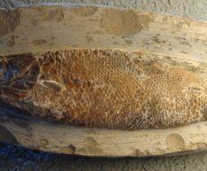 Ghedoghedo/Musée d'histoire naturelle de Leyde