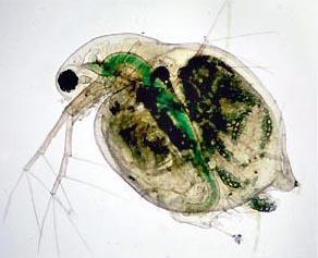 Vue microscopique de Daphnia pulex