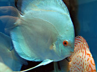 Discus Blue Diamond
