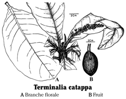 Planche Terminalia (photo : www.efloras.org)