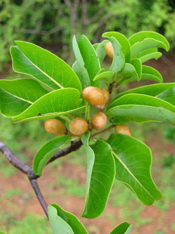Terminalia catappa et ses fruits (photo : www.efloras.org)